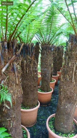 Dicksonia antarctica Stamm 130-150cm - Gesamthöhe 270+ cm [Palette]
