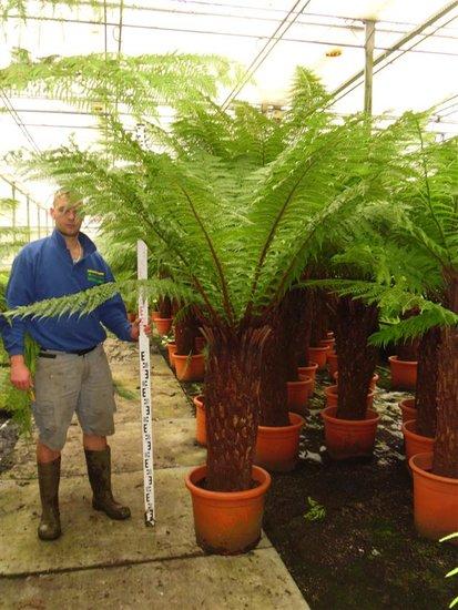 Dicksonia antarctica Stamm 110-120 cm [Palette]
