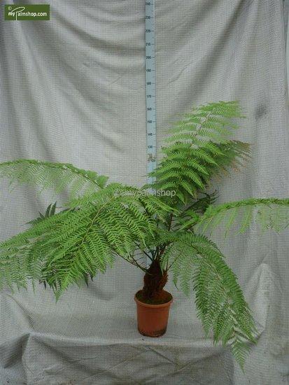 Dicksonia antarctica Stamm 20-30 cm