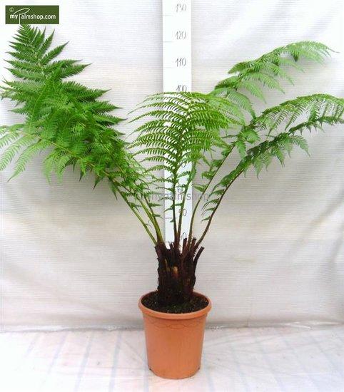 Dicksonia antarctica - Stamm 15-20 cm - Gesamthöhe 80-100 cm - Topf Ø 26 cm