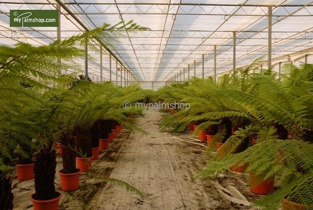 Dicksonia antarctica Stamm 50-60 cm [Palette]