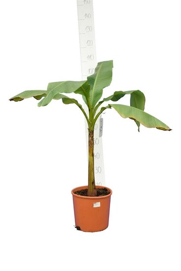 Musa basjoo fat trunk Topf Ø 26 cm