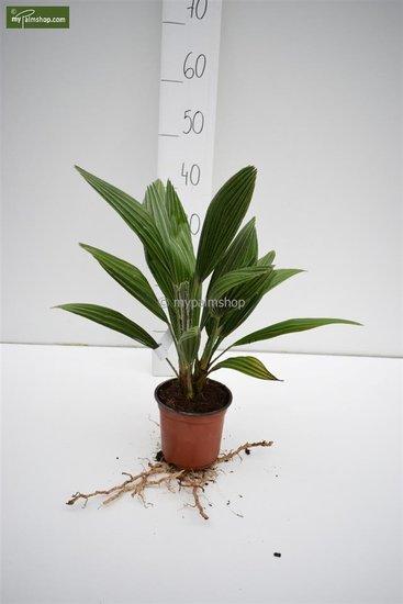 Chamaerops humilis Vulcano - Gesamthöhe 30-40 cm - Topf Ø 13 cm