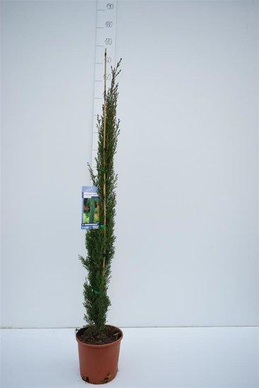 Cupressus Sempervirens Totem - Gesamthöhe 110-130 cm - 5,4 Ltr Ø 23 cm Topf
