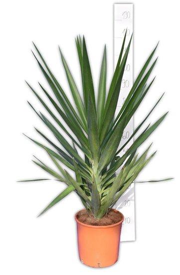 Yucca Elegans Gesamthöhe 110-130 cm - pot Ø26 cm