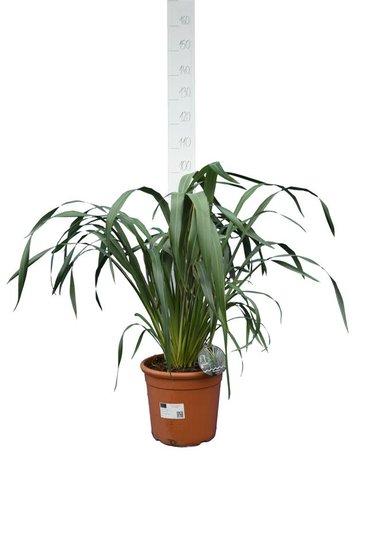 Phormium cookianum Tricolor Topf Ø 32 cm