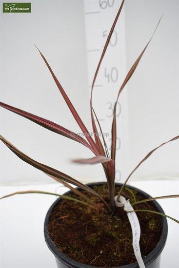 Cordyline australis Kiwi Dazzler Topf Ø 22 cm