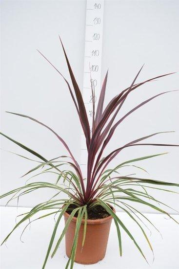 Cordyline Can Can Gesamthöhe 90-110 cm