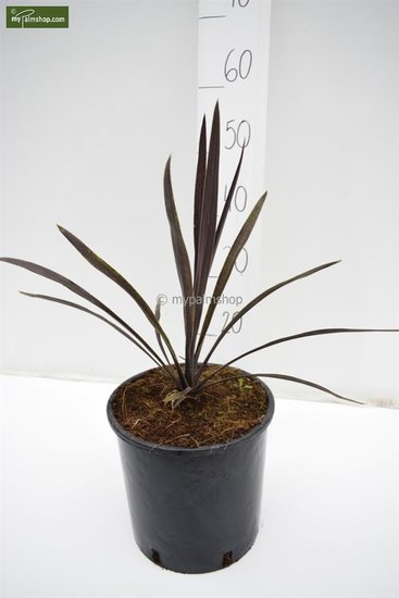 Cordyline australis Purple Tower Topf Ø 22 cm