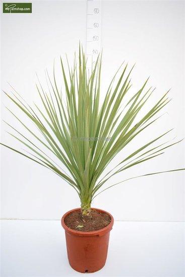 Cordyline australis Topf Ø 35 cm