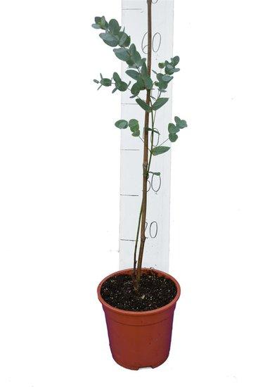 Eucalyptus gunnii Azura Topf Ø 17 cm