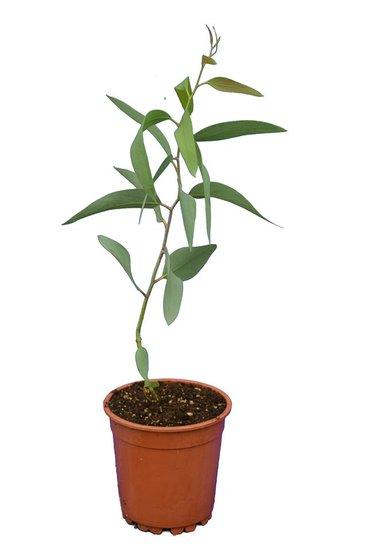 Eucalyptus niphophila Topf Ø 17 cm