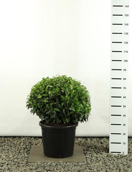 Prunus angustifolia Kugel Ø 60-80 cm