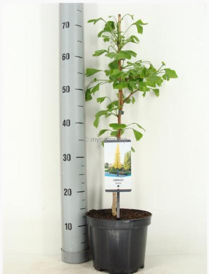 Ginkgo biloba Topf Ø 19cm - 3 ltr