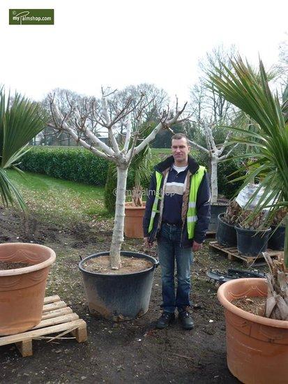 Ficus carica Brown Turkey - Gesamthöhe 180+ cm - Stamm 80+ cm - Stammumfang 20-24 cm [Palette]