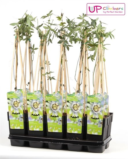 Passiflora Caerulea Topf 2 ltr