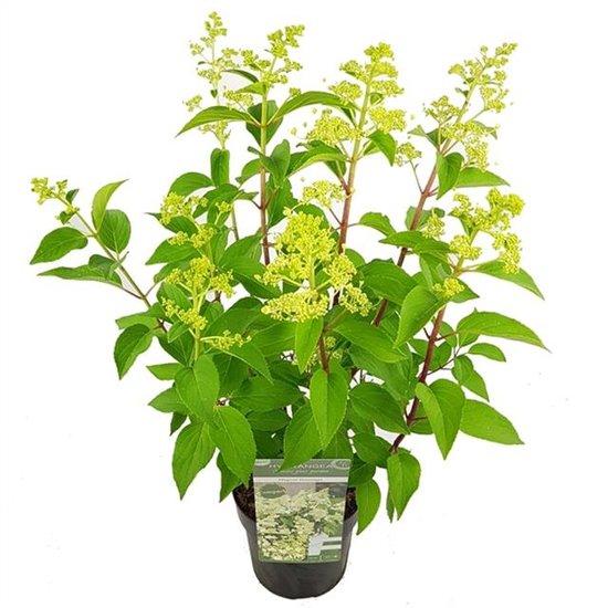 Hydrangea paniculata Magical Himalaya 3 ltr