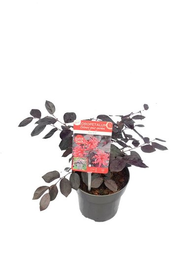 Loropetalum Ever Red Topf Ø 14 cm