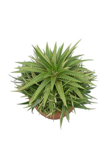 Dyckia brevifolia Topf Ø 20 cm