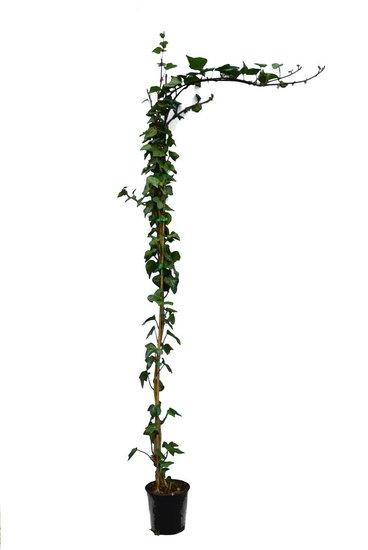Hedera Verde de Irlanda Topf Ø 18 cm - 3 ltr