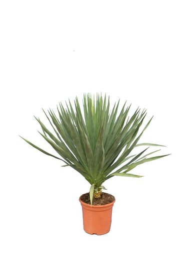 Yucca gloriosa stamm: 5-15cm topf: Ø 26cm