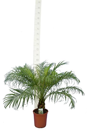 Phoenix roebelenii - Stamm 10-20 cm - Gesamthöhe 100-120 cm - Topf Ø 24 cm
