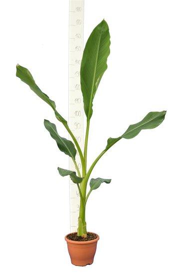 Musella lasiocarpa Topf Ø 23 cm