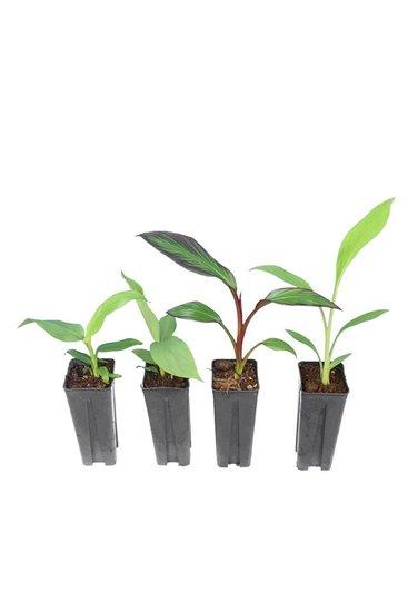 Musa paket 0,7 ltr (Musa basjoo, Musa sikkimensis Red Tiger, Musella lasiocarpa, Ensete maurelli)
