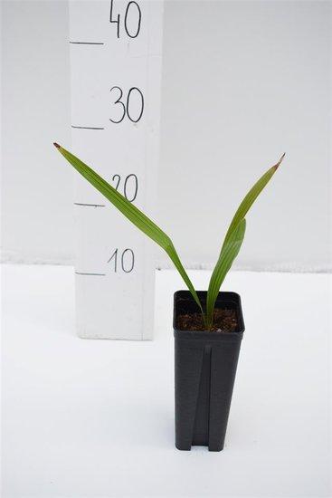 Trachycarpus wagnerianus x nanus - Topf 0.7 ltr