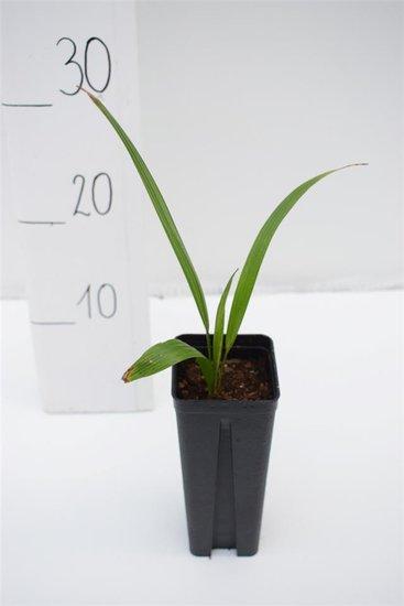 Trachycarpus wagnerianus x naggy - Topf 0.7 ltr