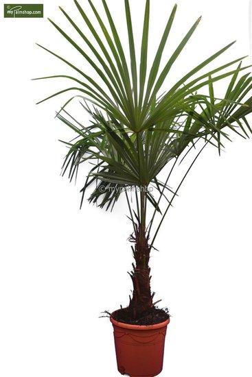 Trachycarpus sp. Kumaon - Stamm 30-40 cm - Gesamthöhe 170-190 cm - Topf Ø 32 cm [Palette]