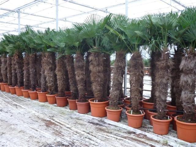 Trachycarpus wagnerianus - Stamm 140-160 cm - Topf 90 ltr [Palette]