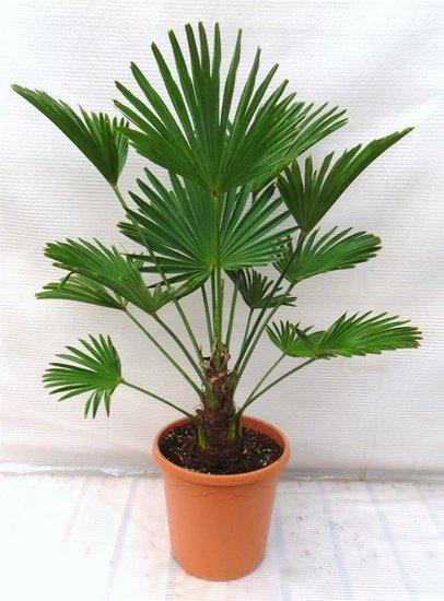 Trachycarpus wagnerianus - Stamm 15-25 cm - Gesamthöhe 90-110 cm - Topf Ø 26 cm