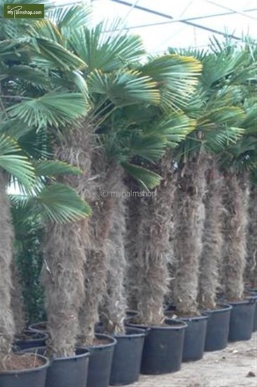 Trachycarpus wagnerianus - Stamm 180-200 cm - Topf 110 ltr [Palette]