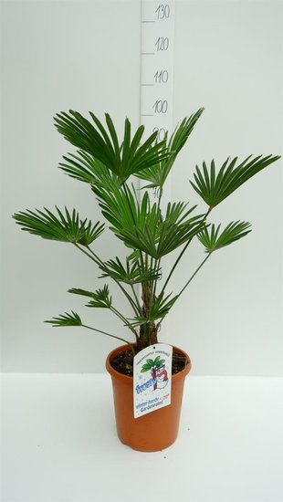 Trachycarpus wagnerianus - Stamm 15+ cm - Gesamthöhe 80-100 cm - Topf Ø 26cm
