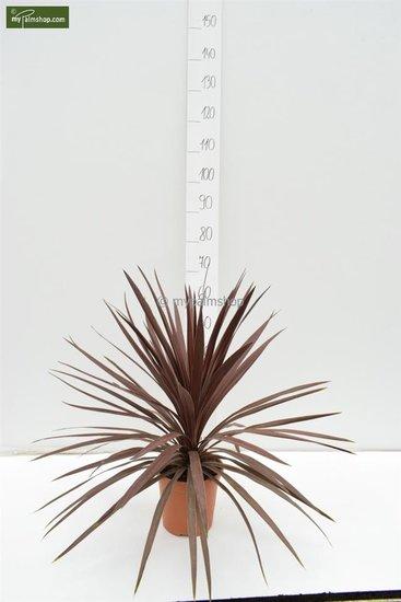 Cordyline australis Red Star Gesamthöhe 60-70 cm