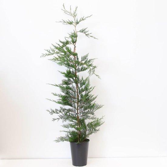 Cupressocyparis leylandii - Gesamthöhe 100-120 cm - Topf 4 ltr