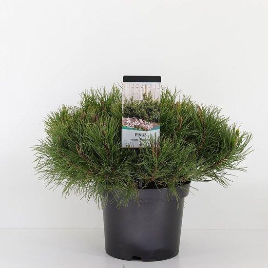 Pinus mugo mughus - Gesamthöhe 40-50 cm - topf 3 ltr