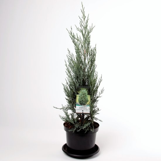 Juniperus scopulorum Moonglow - Gesamthöhe 70-80 cm - Topf 3 ltr