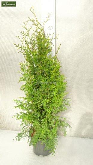 Thuja occidentalis Brabant (Topfware) 5 ltr pot - Gesamthöhe 80-100 cm