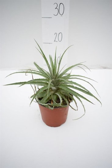 Puya venusta Ø 14 cm Topf
