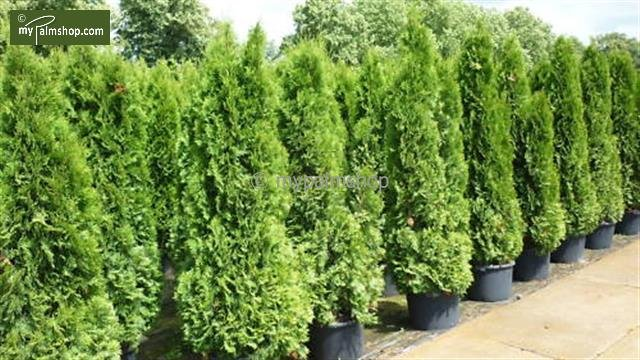 Thuja occidentalis Smaragd (TOPFWARE) 15 Ltr pot [Palette]