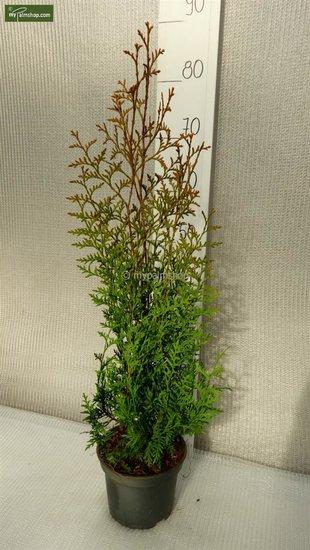 Thuja occidentalis Brabant (Topfware) 2 ltr Topf - Gesamthöhe 50-70 cm