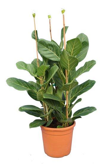 Ficus elastica Beghalensis Topf Ø 28 cm