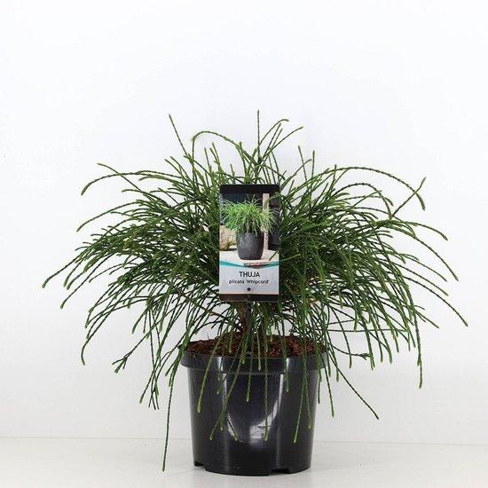 Thuja plicata whipcord - Gesamthöhe 40+ cm - Topf 5 ltr