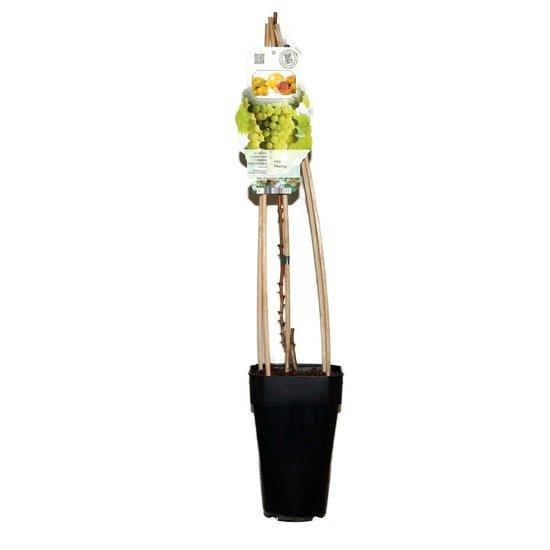 Vitis riesling - Gesamthöhe 60-80 cm - 2 ltr Topf