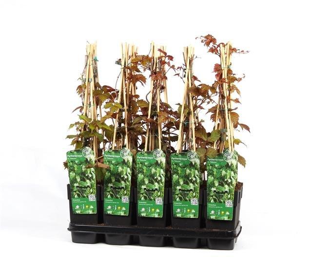 Parthenocissus tric. Veitchii 2 ltr