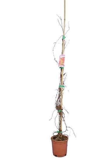 Parthenocissus tric. Veitchii Topf Ø 18 cm