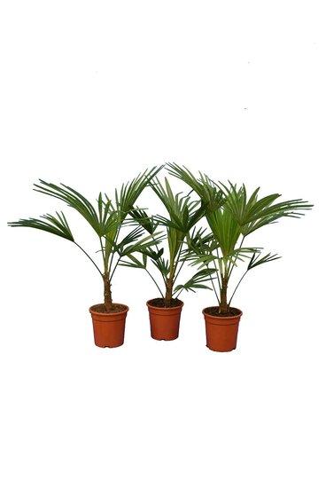 Trachycarpus sp. Nova - Gesamthöhe 80-100 cm - pot Ø 21 cm - Set aus 3