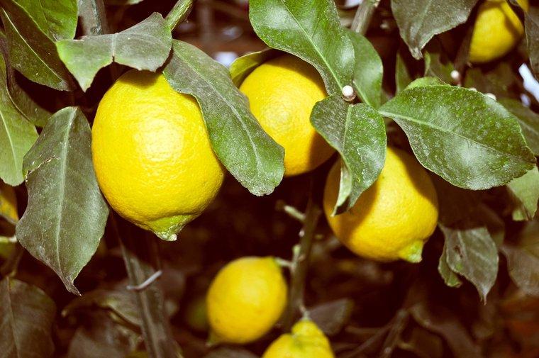 Citrus limon - Gesamthöhe 160-180 cm - Ø 26 cm Topf